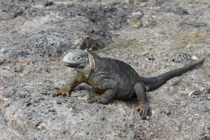 Galapagos iguana!