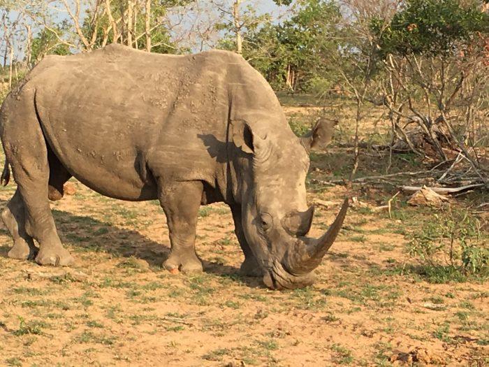 Rhino at Sabi Sands Kruger Park